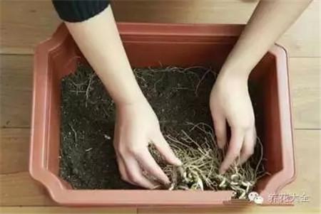 韭菜根整齐地排列于盆中