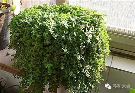 垂盆草养护要点
