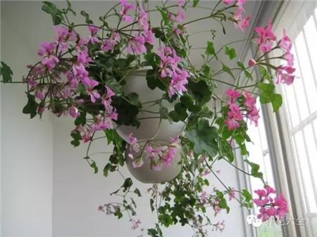 垂吊天竺葵