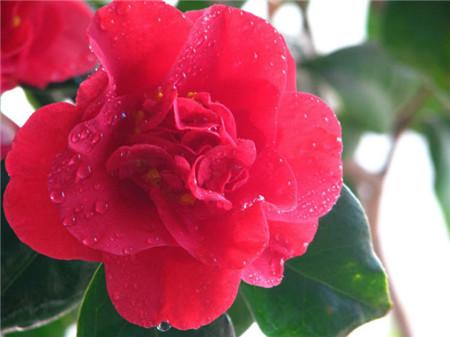 山茶花的花语