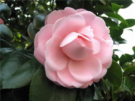 粉红山茶花