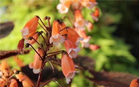 垂筒苣苔的养护技巧