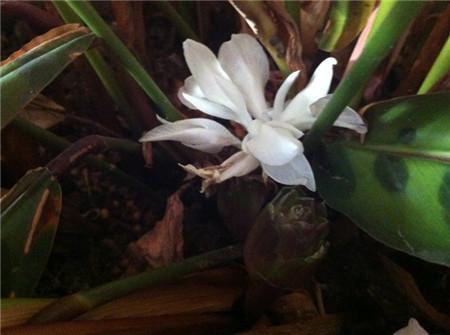 猫眼竹芋花朵