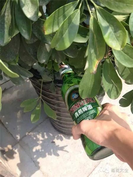 啤酒浇花一举两得