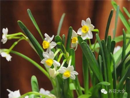 肥皂水促进水仙开花