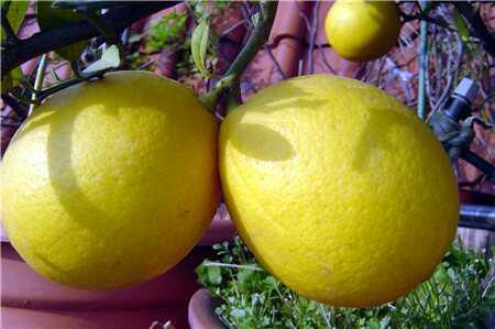 柠檬果实图片