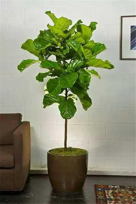 种植琴叶榕图片