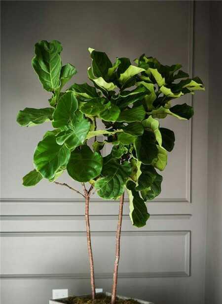 琴叶榕养殖图片