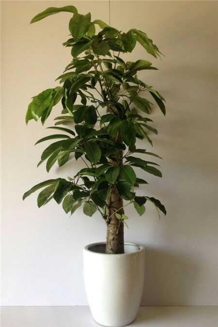 图片琴叶榕养殖