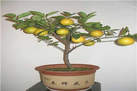 图片柠檬扦插