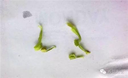 捕蝇草叶插