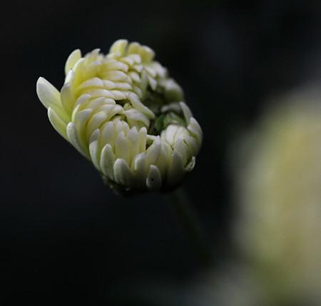 杭白菊图片