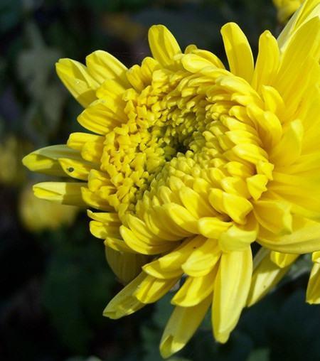 菊花控制水肥