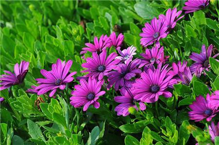 蓝目菊花朵