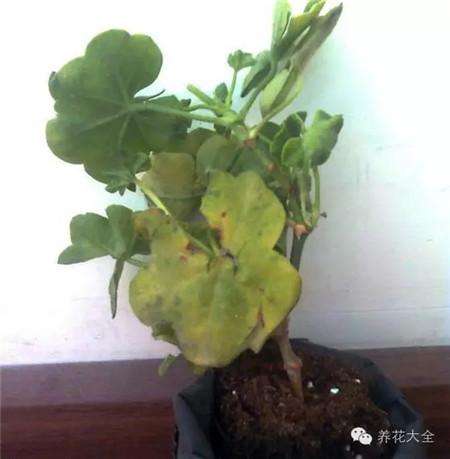 天竺葵叶子发黄