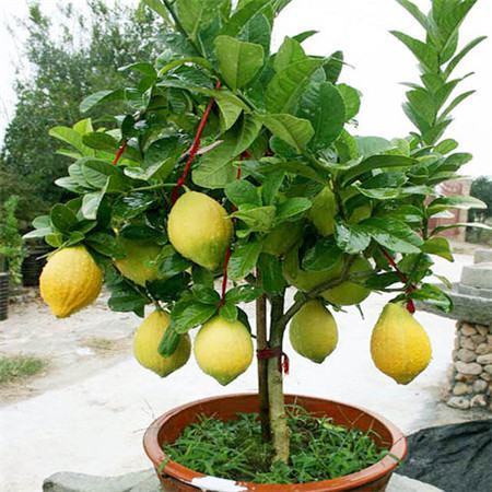 香水柠檬养护