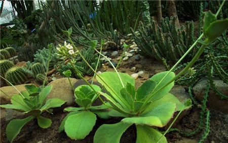 趣蝶莲的分株繁殖