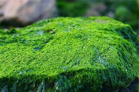 苔藓的生长习性