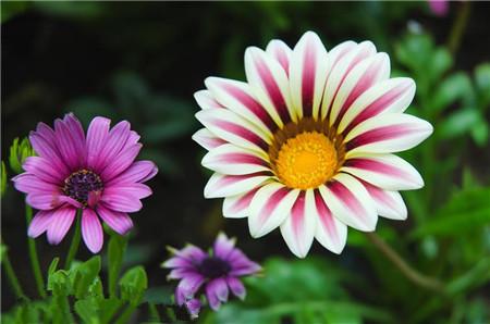 勋章菊花朵近景