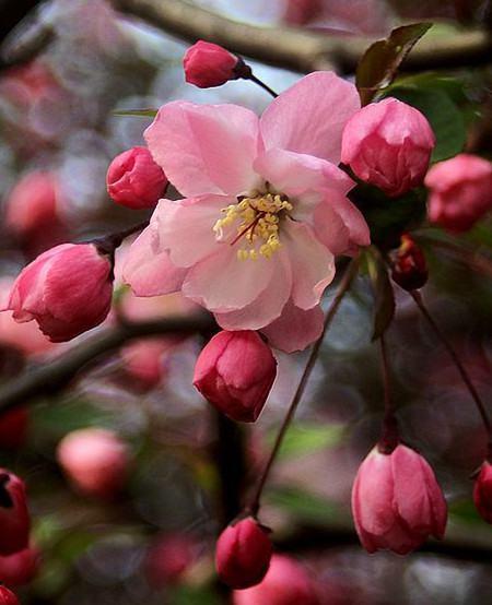垂枝海棠图片