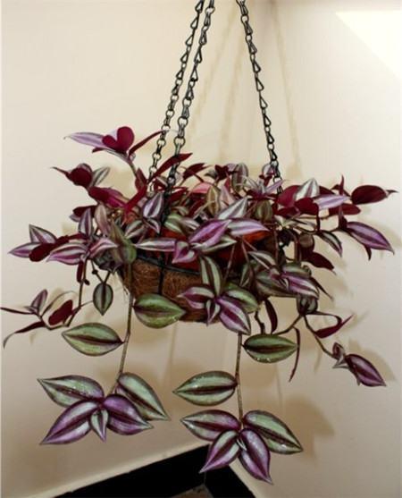 紫色吊竹梅