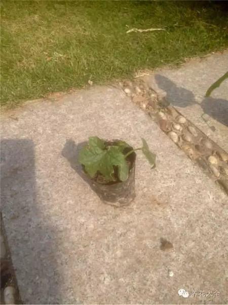 蛇瓜的种植