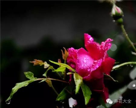 羞答答的玫瑰静悄悄的开