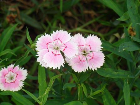 石竹花开花