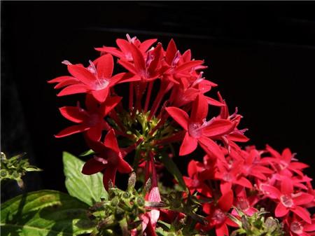 影响繁星花的开花因素