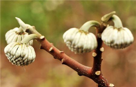 结香的病毒性萎缩叶病