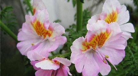 蛾蝶花冬季养护图片