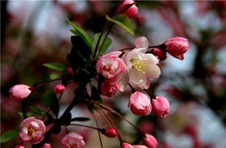 垂枝海棠的花期