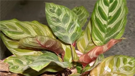 竹芋类植物