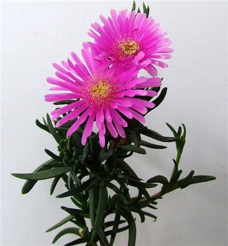松叶菊的花语——怠惰
