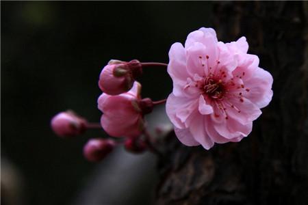 美人梅的虫害及其防治
