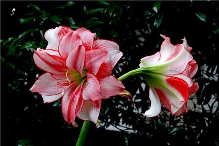 朱顶红开花的影响因素