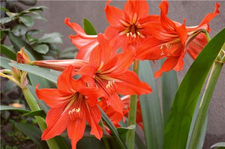 朱顶红开花的养护