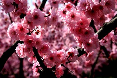 美人梅的园林作用