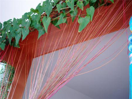 锦屏藤的隔热作用