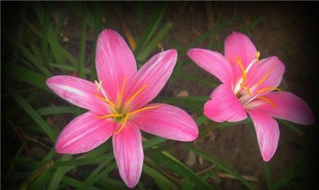 韭菜莲开花图片欣赏