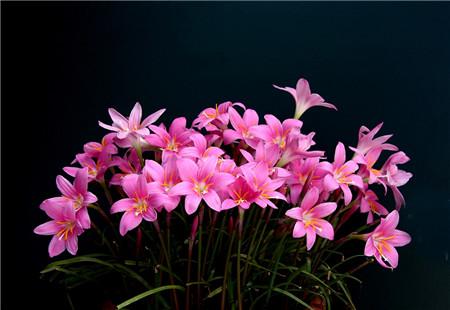 韭菜莲怎么能多开花