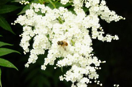珍珠梅开花的养护措施