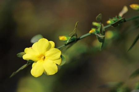 迎春花的花语