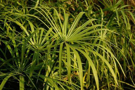 旱伞草扦插繁殖