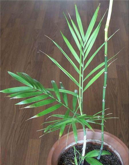 凤尾竹的风水摆放
