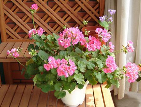 天竺葵的美丽传说