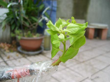 樱花嫁接繁殖的步骤