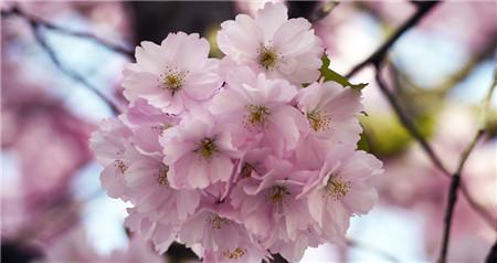 樱花修剪的原则