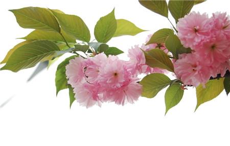 樱花的修剪方法