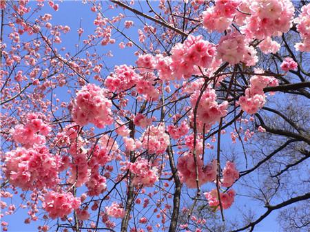 樱花修剪注意事项